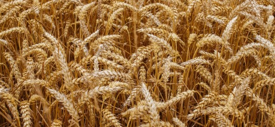 wheat-prosper